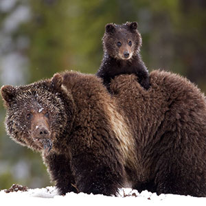 Grizzly and cub in Yellowstone National Park. Credit NPS
